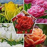25x Doppelt blühend Tulpen Zwiebeln Frühlingsmischung   Exklusive Tulpenzwiebeln aus Holland   Mindestens 5 verschiedene Sorten und Farben   Winterharte und mehrjährig Tulpen für Garten Töpfe Balkon