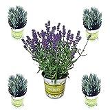 5 Lavendel-Pflanzen im Set (12 cm Ø-Topf): Balkonpflanzen winterhart | Lavendel Pflanze echt | winterharte Stauden | Gartenpflanzen winterhart | Lavendelpflanzen | Staude Kräuterpflanzen