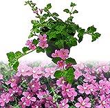 Isenzo Bacopa Schneeflockenblume Sutera DIFFUSUS Balkonpflanze Blumen Planze Lebende Pflanze hängend