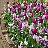 50x Blumenzwiebel Mix   Blüte Lila und Weiß   Tulpen, Hyazinthen, Balkan-Windröschen   Blumenzwiebeln mehrjährig winterhart