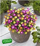 BALDUR-Garten Winterharte Eisblumen Summer Mix, 3 Pflanzen Delosperma