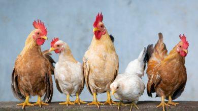 Photo of Jeden Tag frische Eier – Hühner im Garten halten: Rundgang für Anfänger!