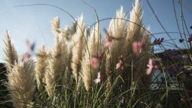 Photo of DIY Gartenarbeit: GRÄSER – Pampasgras richtig schneiden – im Frühjahr