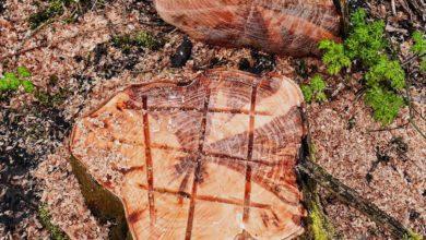 Baumstümpfe entfernen - Mit diesen Tipps klappt der Zerfall eines Baumstumpfs